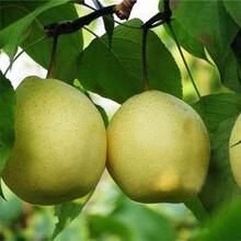 潮州市早酥红梨苗基地批发图片