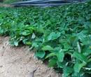 咖啡草莓苗保证品质纯度组培草莓苗图片