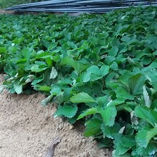 甜心一号草莓苗签合同保品种赛娃草莓苗图片