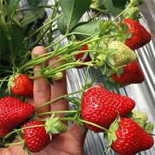 妙香草莓苗什么时候种植好?全明星草莓苗图片