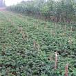 草莓秧好管理吗?妙香7号草莓苗图片