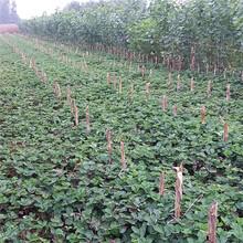 奶油草莓苗什么品种好?白雪公主草莓苗图片