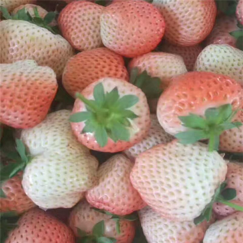 妙香3号草莓苗信誉厂家妙香7号草莓苗