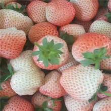 妙香草莓苗批发草莓苗图片