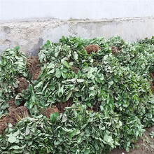 隋珠草莓苗保证品质纯度四季草莓苗图片