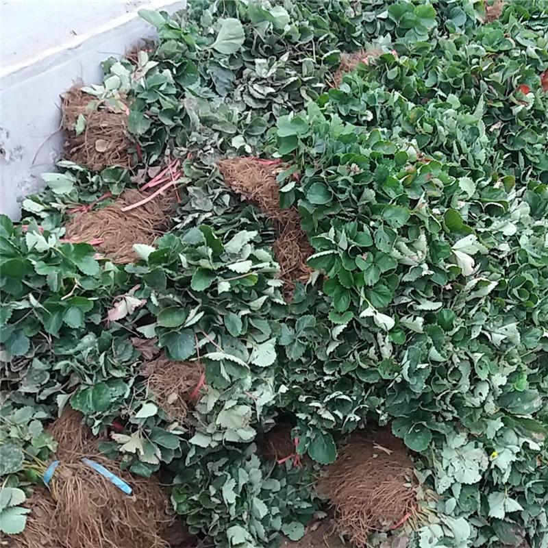 草莓种苗自产自销牛奶草莓苗