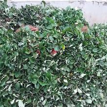 隋珠草莓苗薄利多销/价格美丽红颜草莓苗图片