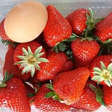 妙香草莓苗厂家草莓苗图片