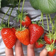 妙香草莓苗全国发货,包成活草莓苗图片
