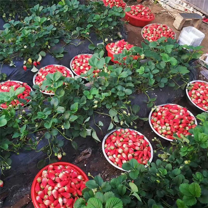 妙香草莓苗怎么种植?宁玉草莓苗