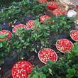咖啡草莓苗什么品种好?组培草莓苗图片