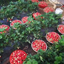 红颜草莓苗厂家天仙醉草莓苗图片