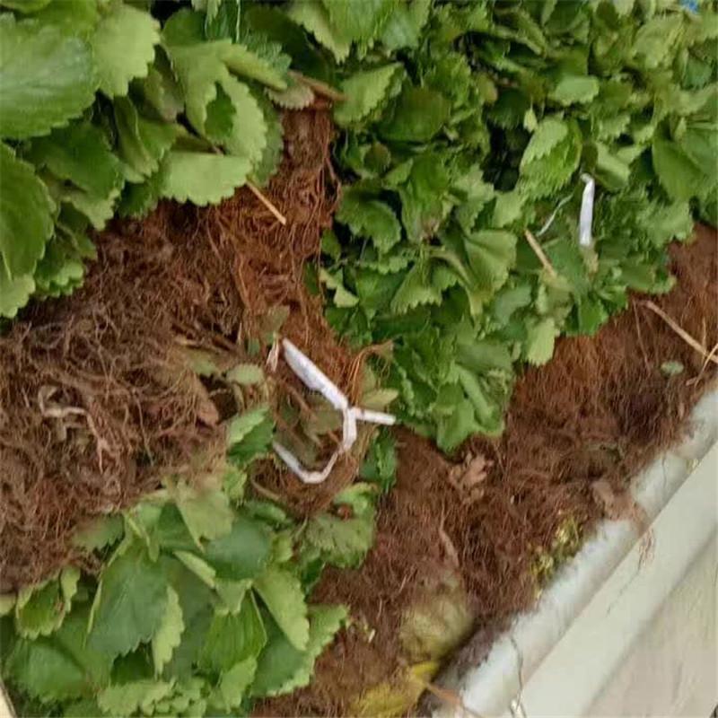 赛娃草莓苗种植章姬草莓苗