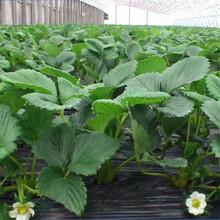 四季草莓苗全国发货,包成活京郊小白草莓苗图片