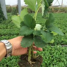隋珠草莓苗成活率怎么样?咖啡草莓苗图片