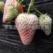 妙香3号草莓苗公司报价四季草莓苗图片
