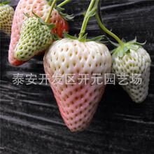 左贺清香草莓苗市场行情美香莎草莓苗图片
