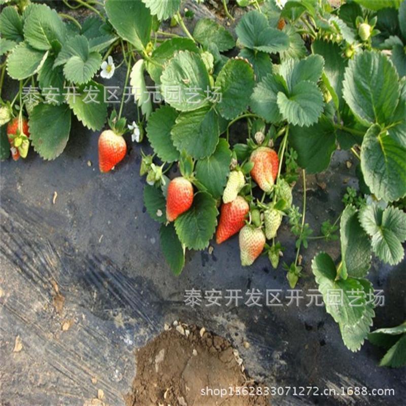 天仙醉草莓苗批发法兰地草莓苗