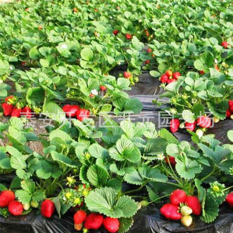 妙香7号草莓苗什么品种好?甜查理草莓苗