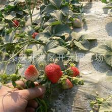 太空2008草莓苗签合同保品种奶油草莓苗图片