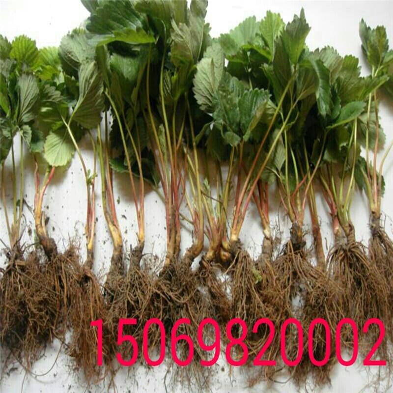 妙香草莓苗厂家草莓苗