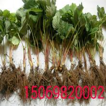 隋珠草莓苗经济效益怎么样?咖啡草莓苗图片