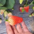 京郊小白草莓苗薄利多销/价格美丽丰香草莓苗图片