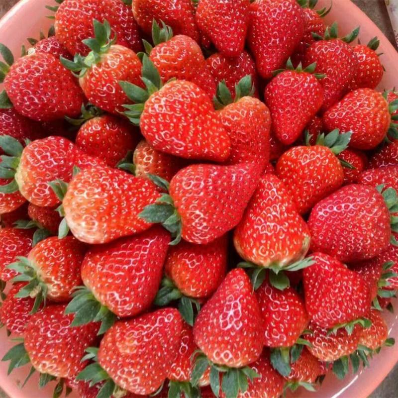 甜宝草莓苗厂家甜宝草莓苗