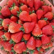 妙香草莓苗信誉厂家宁玉草莓苗图片
