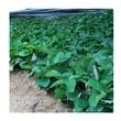 咖啡草莓苗签合同保品种组培草莓苗图片