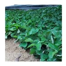 隋珠草莓苗好管理吗?咖啡草莓苗图片
