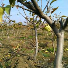 金珠果梨树苗种植咨询处图片