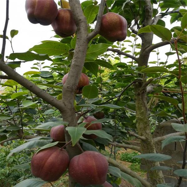 西洋梨树苗定植一年管理技术要求