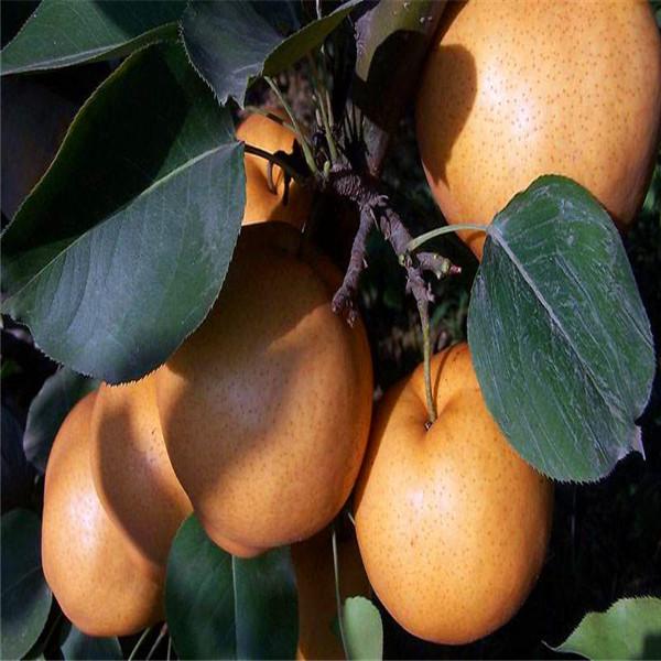 柱状梨树苗价格一览表