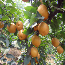 武昌2年生梨树苗砀山酥梨树苗主要产自哪里图片