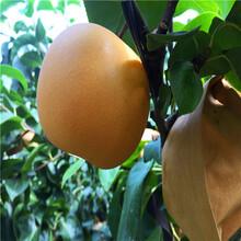 水晶梨树苗规范化育苗图片