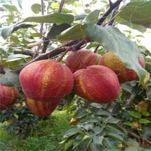 砀山酥梨树苗多少钱图片
