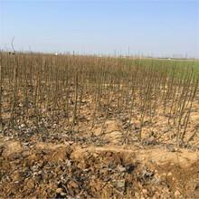 金香水梨树苗新品种图片