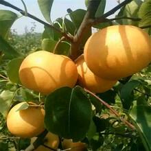 砀山酥梨树苗新高梨树苗卖多少钱图片