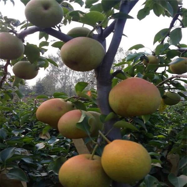 金珠果梨树苗主要修剪注意事项