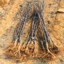 西洋梨树苗定植一年管理技术要求图片