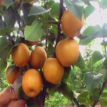 新西兰红梨树苗前景如何图片