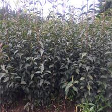 柱状梨树苗价格一览表图片
