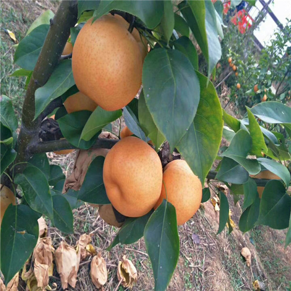 香水梨树苗秋季施肥管理
