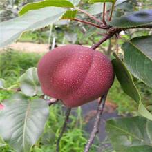 红啤梨树苗种植办法图片