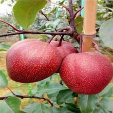 八月酥梨树苗哪里最便宜图片