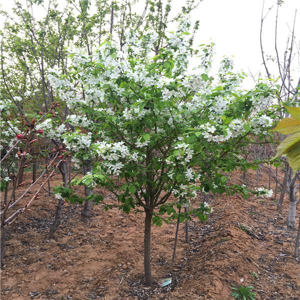 翡翠梨树苗价格多少钱