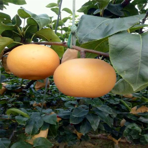 五九香梨树苗行业信息