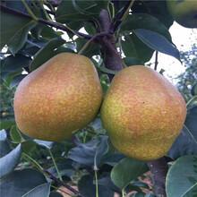 南果梨树苗批发出售图片
