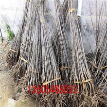 长宁金秋王红富士苹果苗适合栽植环境图片